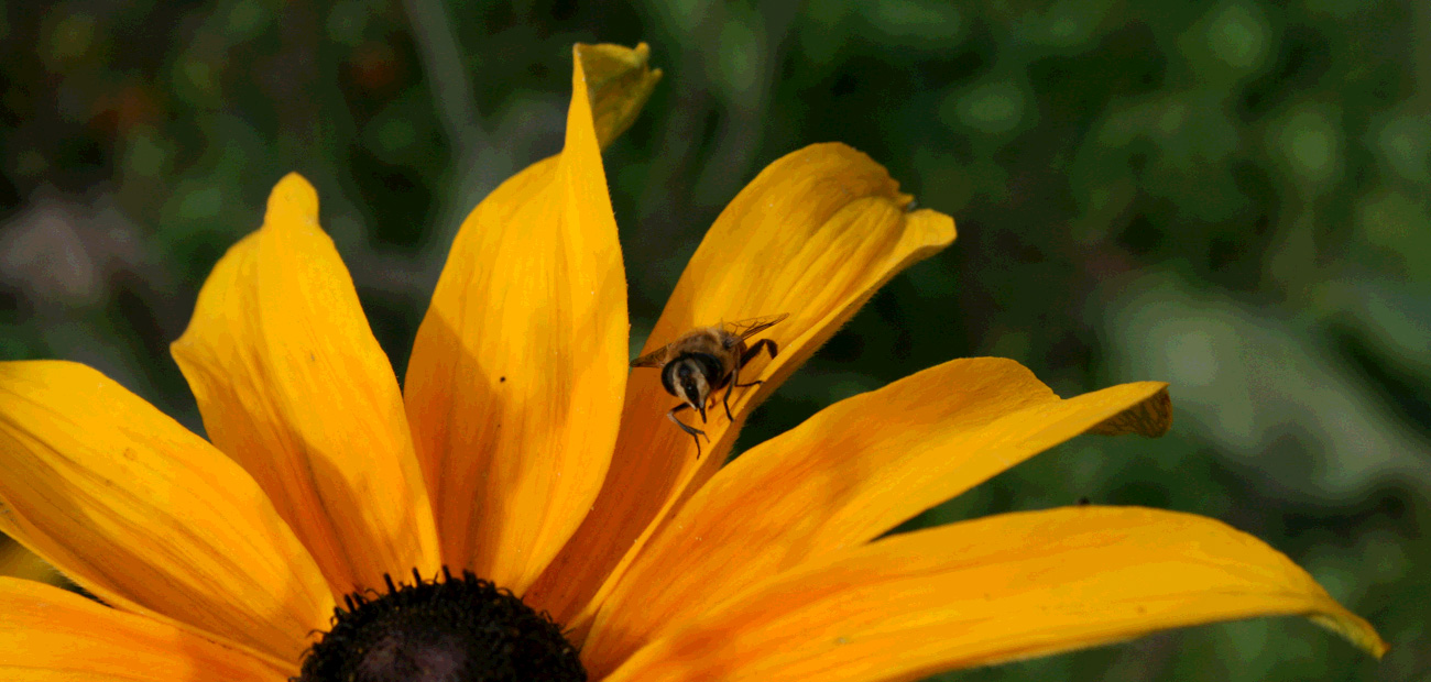 Part of the Pollinator Health Strategy - Bee on Yellow Flower